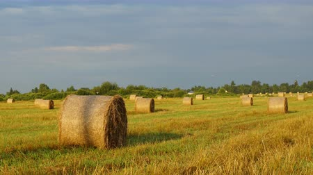 hay harvest : Haystacks at sunrise on the background of floating clouds. Stock Footage