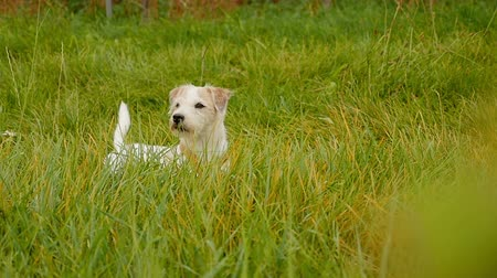 vigilant : Cute white parson russell terrier bitch with beige ears lying on a meadow wagging his tail while looking at camera vigilant, daylight shot on location in germany, approx. 22 seconds Stock Footage