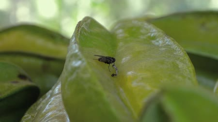 энтомология : flies between star fruit that are being harvested Стоковые видеозаписи