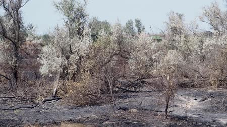 charred : Panorama of the forest after the fire. Slow motion.