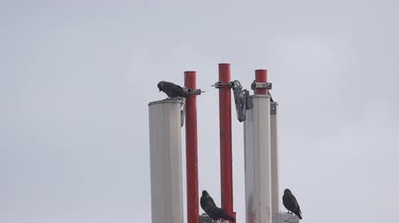 tető : few black crows sitting on top of a satellite antenna for mobile communication