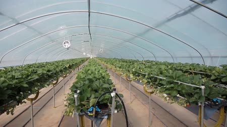 hydroponic : vegetables growing in greenhouse