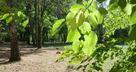 linden : wind swings green leaves of lime tree illuminated by sun in urban park in sunny day at the beginning of autumn Stock Footage