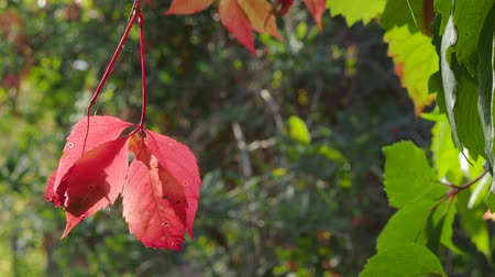 Виргиния : red leaves of Virginia creeper bush sway in the wind in the garden at the beginning of autumn Стоковые видеозаписи