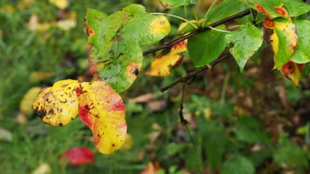 pereira : wet yellow and red leaves of pear tree close up in park in autumn rain