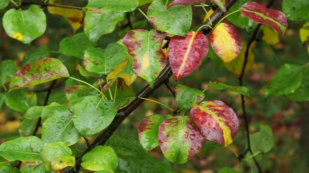 pereira : wet color leaves of pear tree on branch in park in autumn rain