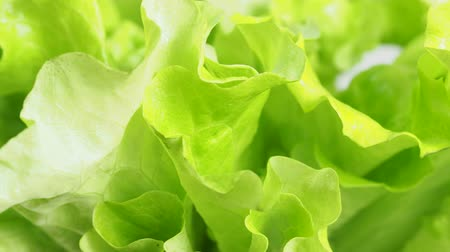 view of rotating fresh green lettuce leaves close up