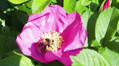 estames : bumblebee collects pollen from pink bloom of dog rose