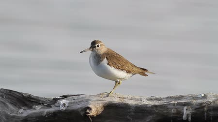 searches : Common Sandpiper on the trunk in the lake Stock Footage