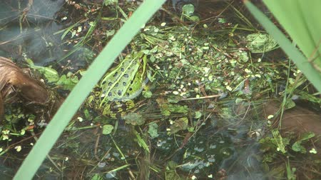slough : HD 1080 closeup shot of green frog in bog.