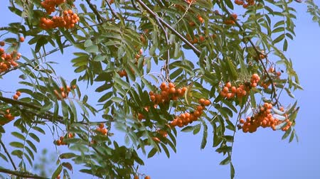 rowanberry : close up clip of autumn red mountain ash against the blue sky.