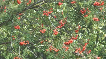 rowanberry : Autumn red mountain ash.