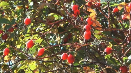 rosehips : HD 1080 closeup clip of dogrose bush with berry.