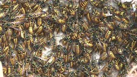 fészek : HD 1080 close up shot of wasps in the nest.
