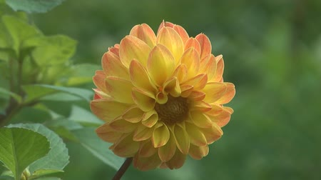 canteiro de flores : HD 1080 closeup shot of beauty flower dahlia.