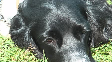 itaatkâr : Close up clip of Russian Hunting Spaniel resting on green grass. Stok Video