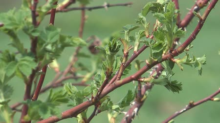 rosehips : Close up shot of spring dog rose branch.