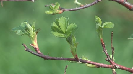 rosehips : Close up shot of branch of a spring dog rose. Stock Footage