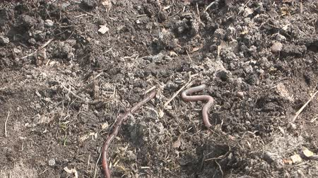 squirm : Earthworm crawling on the ground. Stock Footage