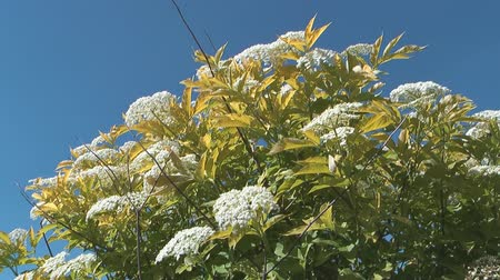 mürver : HD 1080 shot of elderberry bush on a background of blue sky. Stok Video