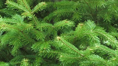 esinti : Background of the branches of firs swaying in the wind. Stok Video