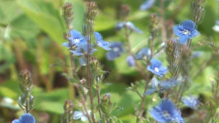 szellő : HD 1080 shot of blue forget-me-nots close up clip.