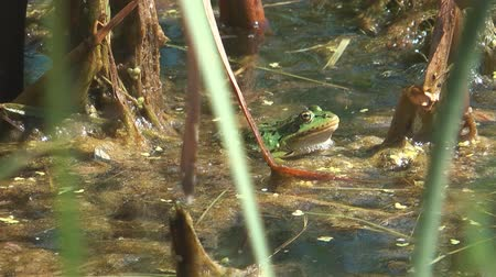 anuran : Green frog hunting in the swamp.