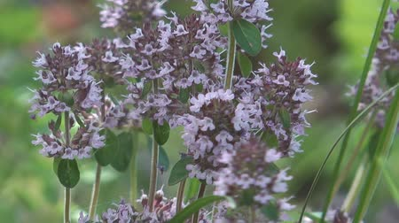 tomilho : HD 1080 closeup shot of thyme flowers. Stock Footage
