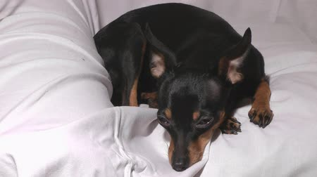 itaatkâr : Close up shot of little dog russian toy terrier.