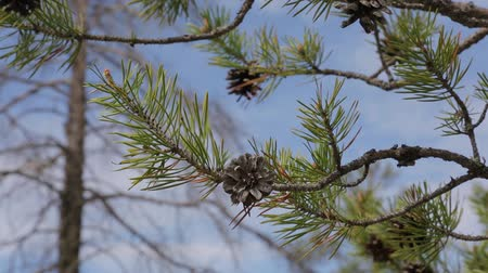 кедр : Branch with pine cones against the blue sky