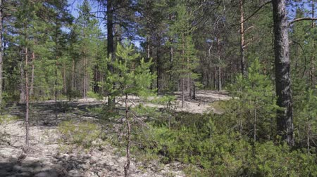 liken : Typical landscape within the Siberian taiga Stok Video