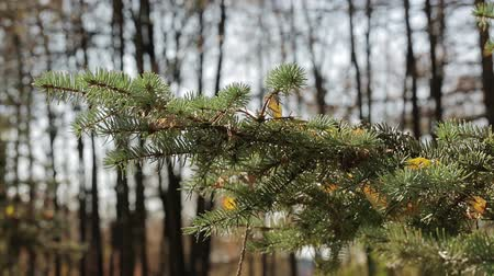 pinheiro : Fallen leaves lie on a spruce paw