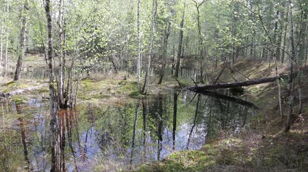 сибирский : Inside the wild spring taiga. The forest lake is formed during the spring high water Стоковые видеозаписи
