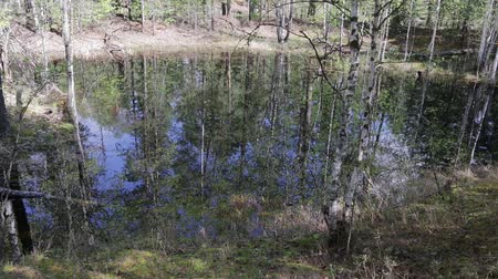 softwood forest : Inside the wild spring taiga. The forest lake is formed during the spring high water Stock Footage
