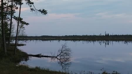 сибирский : The Siberian tundra. Separate dry trees on the shore of the lake in the late evening, Panoramic shot from left to right