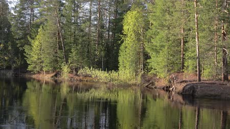 softwood forest : Panorama of the banks of the taiga river in the summer at evening Stock Footage