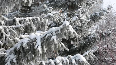snow covered spruce : The wind in the forest swings the big dense branches of blue fir-trees covered with snow