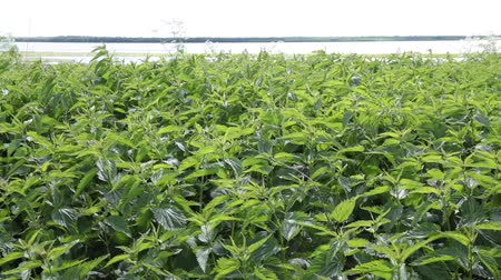 колебание : Dense thickets of nettle growing on the shores of the Siberian river Ob