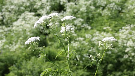 otsu : Flowering plant cow parsnip in the wild
