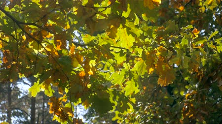dub : 4K footage of sun shining through oak leaves on branch at autumn forest