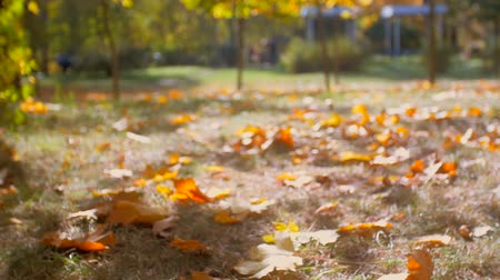 düşmeler : Beautiful yellow maple leaves falling on ground under tree at bright sunny day