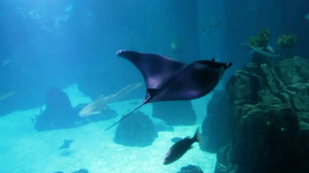 submerge : Footage of stingray swimming in big aquarium. Underwater shoot Stock Footage