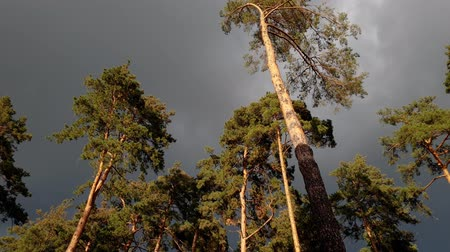 csattanás : 4k beautiful footage of dark rainy clouds flying over top of pine trees in the forest at sunny windy day. Time before the rain storm Stock mozgókép