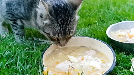koťátko : Closeup video of domestic cat eating and drinking from bowl on grass at house backyard
