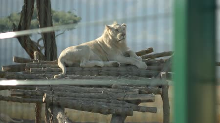 állatkert : lioness in a zoo behind bars on a wooden dais