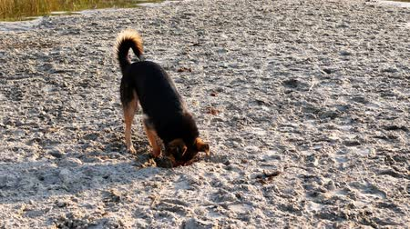 Dog digs hole in sand on the beach