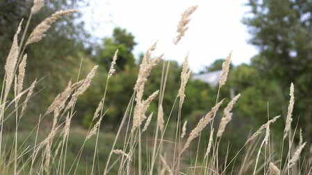 rákos : ears of grass swaying in wind on summer meadow