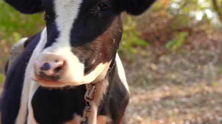 Close-up of a cow whisking flyes from its face. Portrait of a cow grazes on the lawn Stock Footage