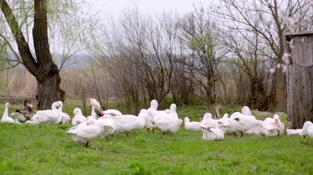 A herd of white domestic geese grazes on a green field Stock Footage