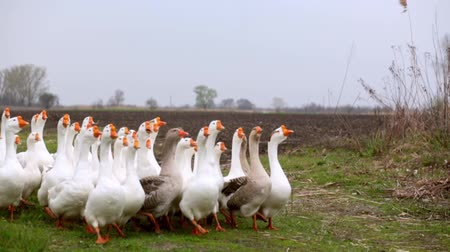boyun : A herd of white domestic geese grazes on a green field Stok Video